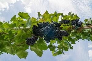 vinohrad TAJNA hrozno červené víno