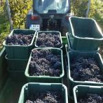 hrozno vinárstvo tajna