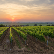 Slovenské víno – zaujímavosti vinohradníckych oblastí