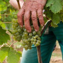 Prečo je pre vinára dôležitý vlastný vinič
