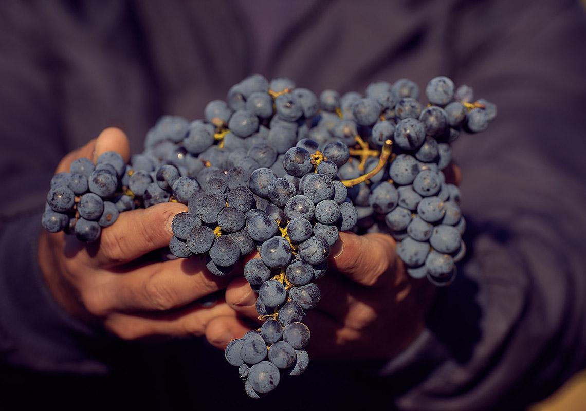 Modré odrody: Merlot