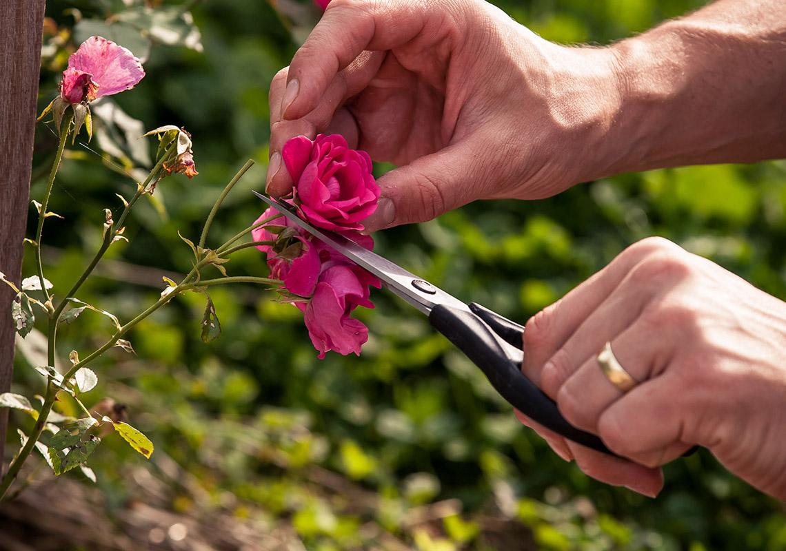 Výroba vína s inovatívnymi technológiami – ruže vo viniči nie sú na okrasu