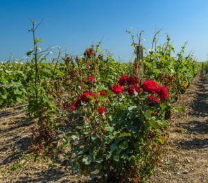 výroba vína bio vinohrad