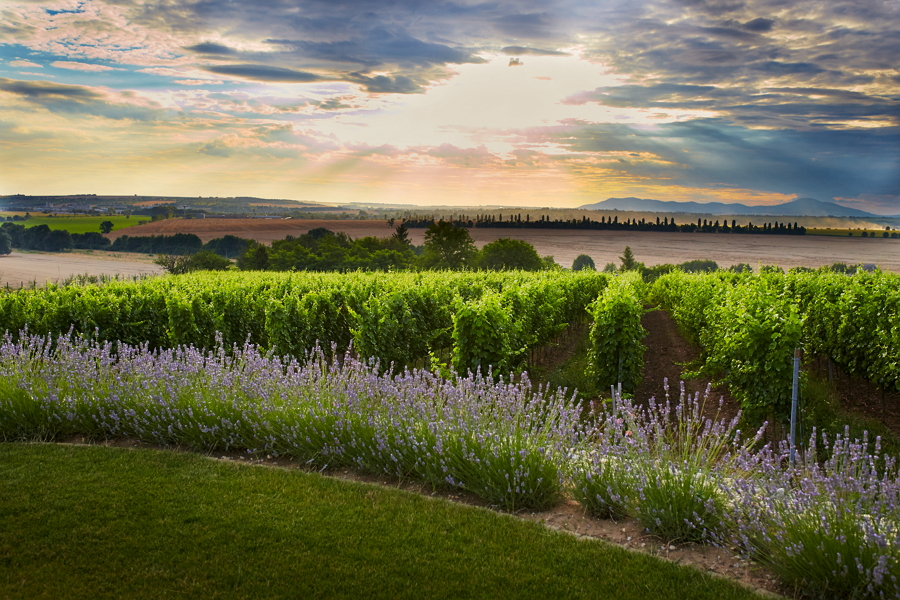 Tajna vinohrad