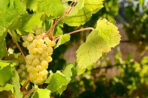 Müller-Thurgau mladé víno