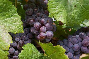 červené víno Tajna