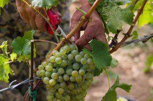 Tajna kvalitné víno hrozno