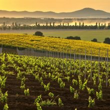 Ročník 2017 v Tajna vineyards & winery – jeden z tých lepších ročníkov