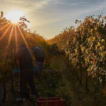 Vinič a vinár – osudový vzťah
