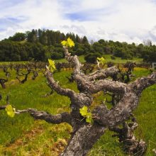 """Tajomstvá starých koreňov – ako chutí """"staré víno"""" ?"""